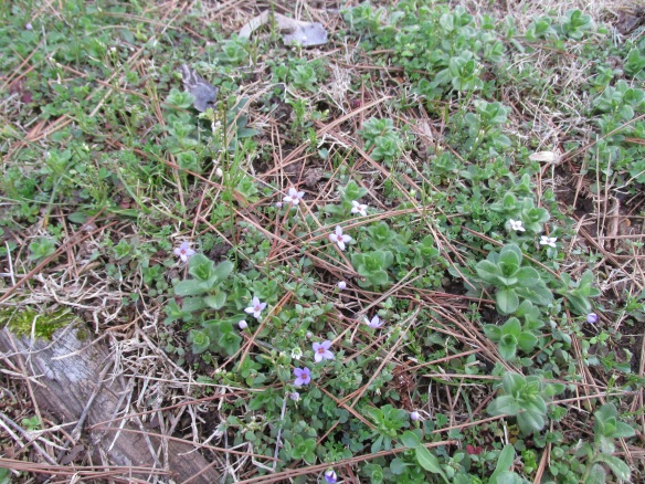 My western soul misses these eastern flowers--blunts, or Quaker Ladies.