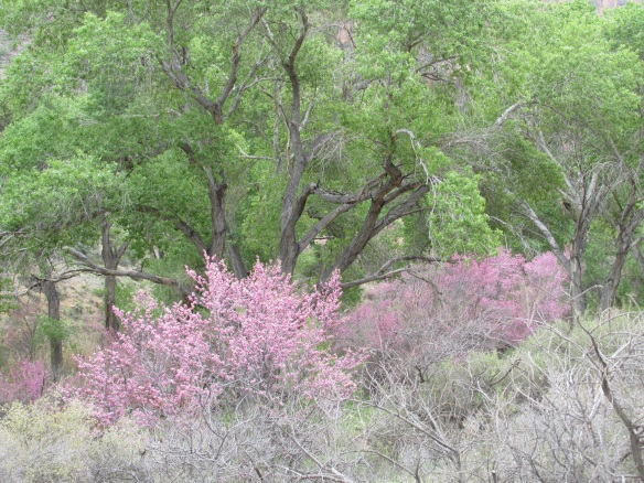 Indian Gardens in March is alive with redbud and fresh new cottonwood leaves.