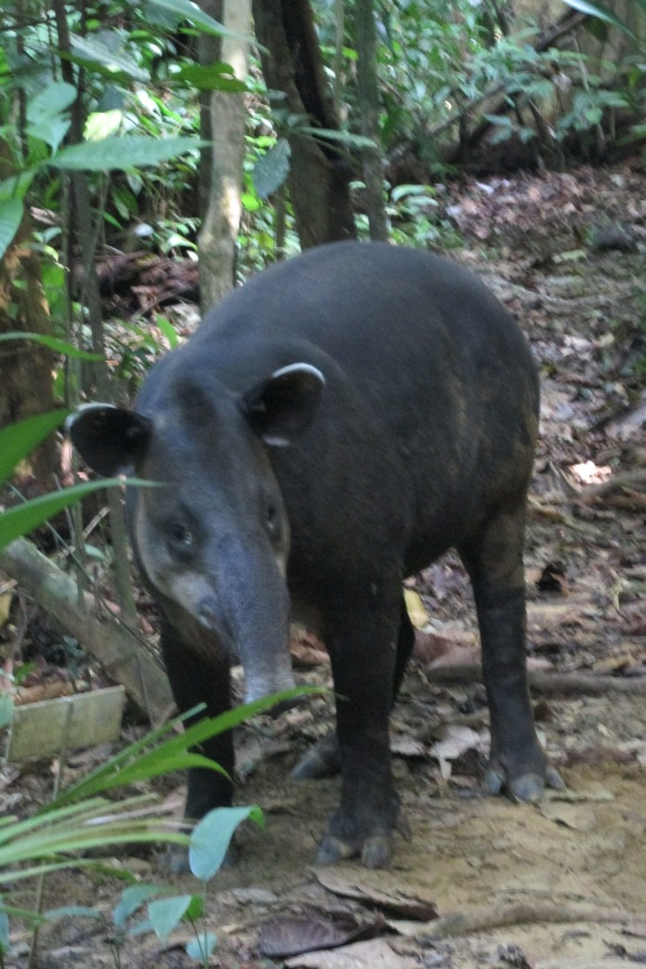 And the elusive tapir? This one was LYING IN THE MIDDLE OF OUR PATH and could hardly be bothered to get up.