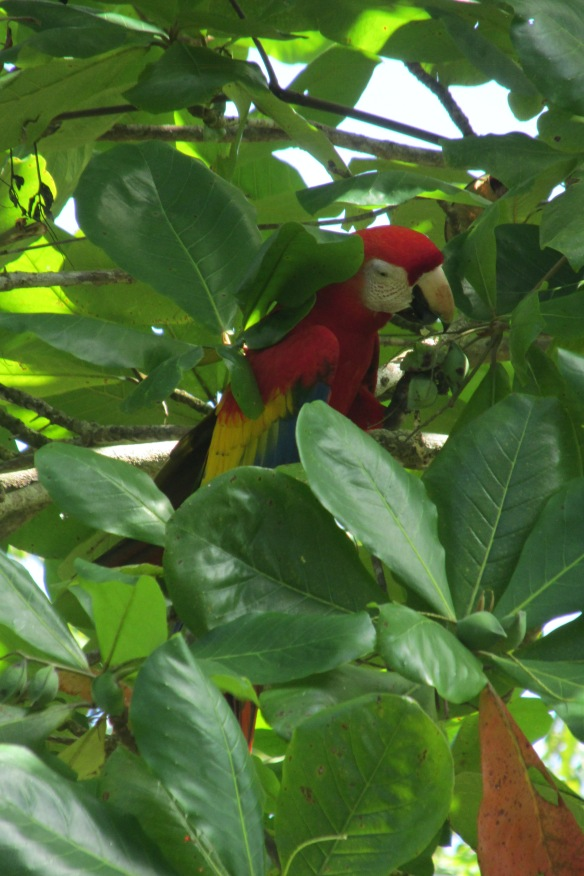 Even prettier than its picture in all that tourist schlock: Scarlet Macaw (hey, another great name!)