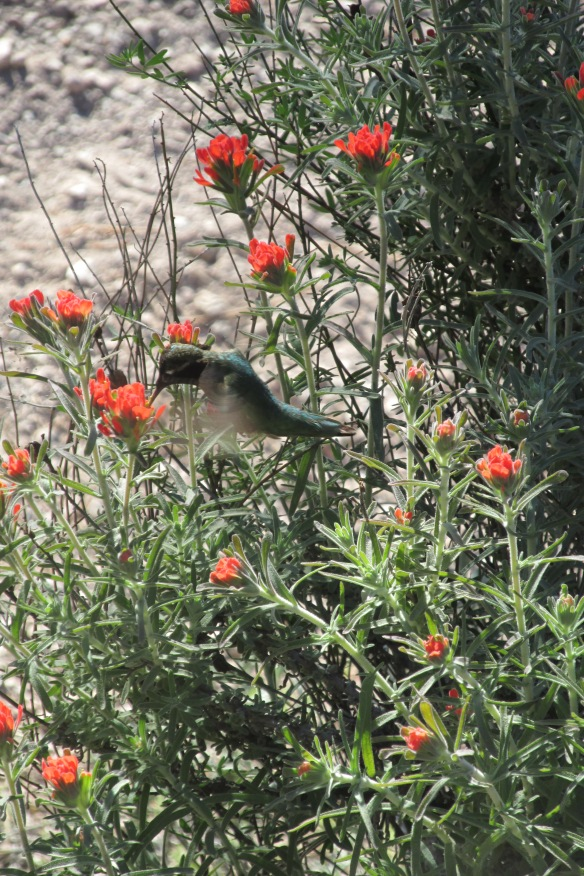 Couldn't get a picture of a condor. But here's a hummingbird for you!