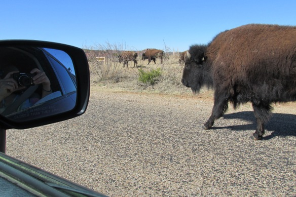 """Do not approach wild bison,"" the brochure says. Ummm..."