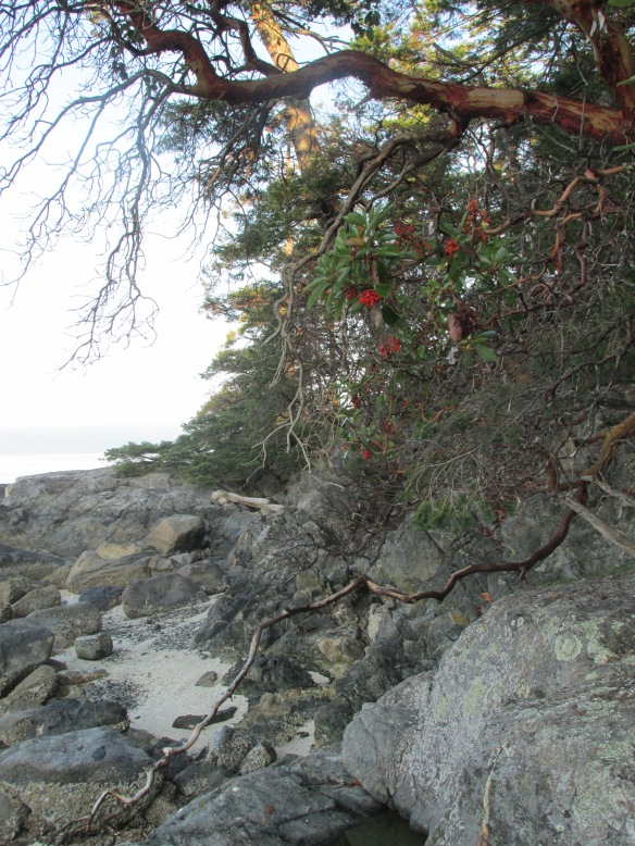 Madrona with berries