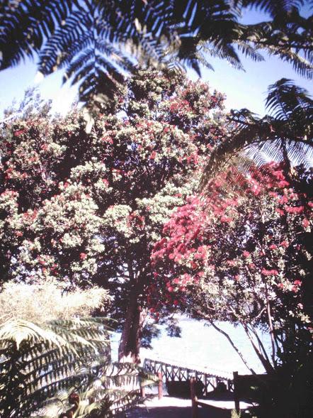 "But who needs lights when you have the Pohutakawa--the ""New Zealand Christmas Tree""?"