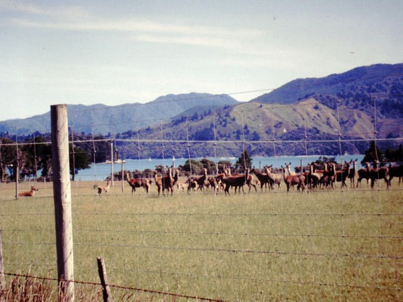 Wapiti! Up in Marlborough Sound. The meat is sold too, of course.