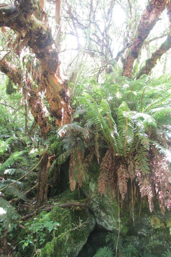 Kotukutuku (Fuchsia tree)