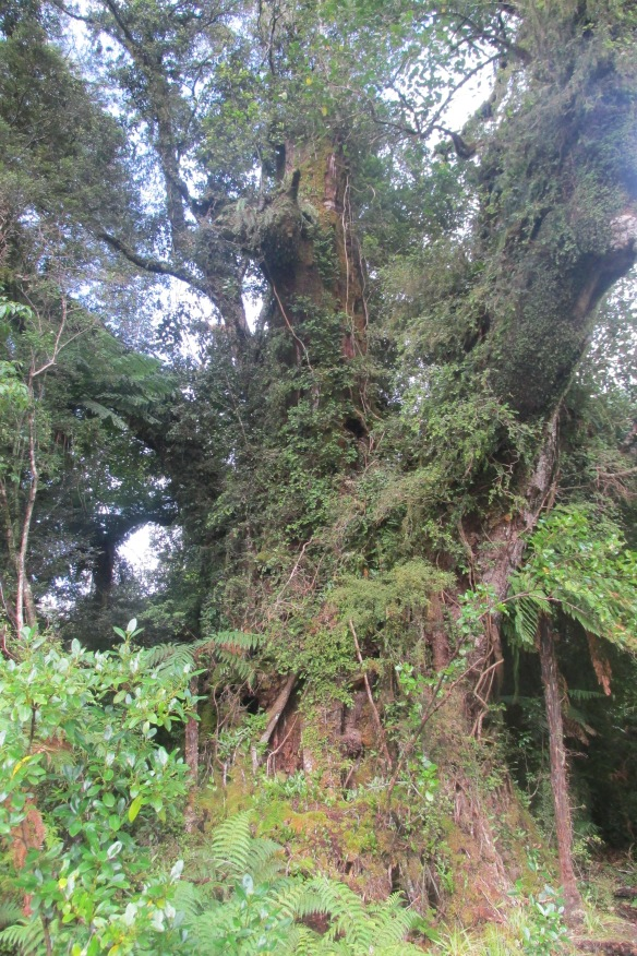 GIANT beech just off the track--redwood-sized.